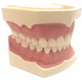 Стоматологічна модель AG-3 W 20